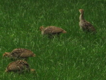 Baby Turkeys 3