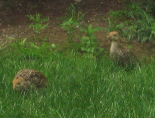 Baby Turkeys 2