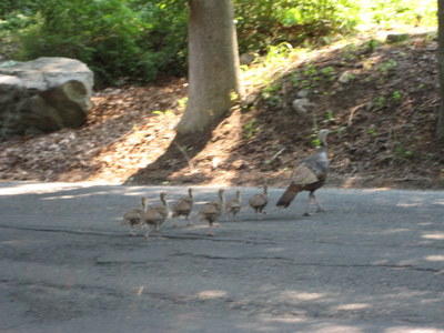 Turkeys in a Row Crossing the Street