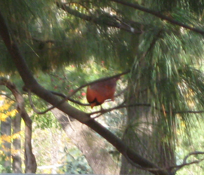 Duds cardinal lady bug 003