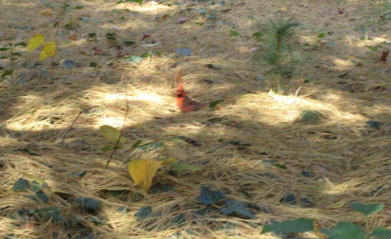 Duds cardinal lady bug 004