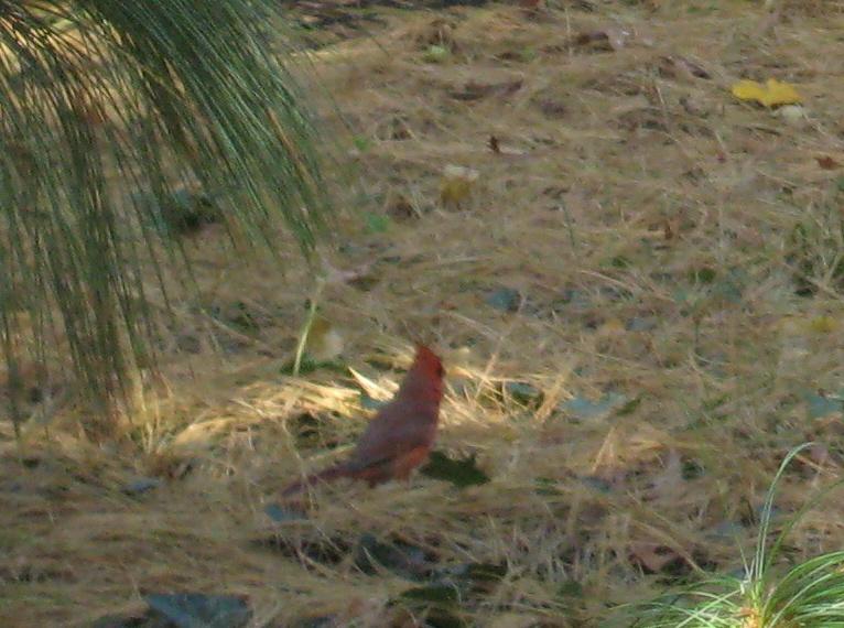 Duds cardinal lady bug 005